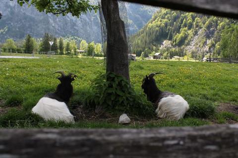 Unsere Ziegen haben es sich auf der Wiese gemütlich gemacht