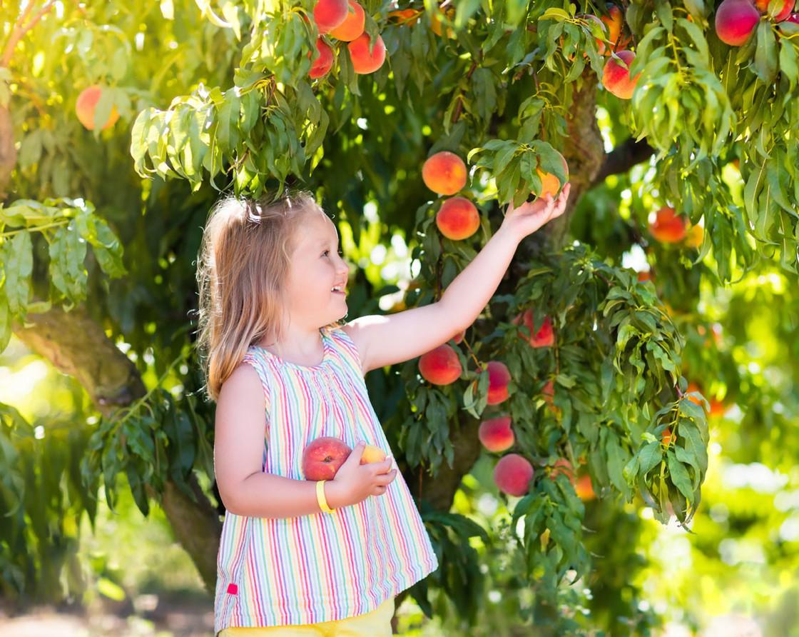 Mädchen pflückt Pfirsiche vom Baum