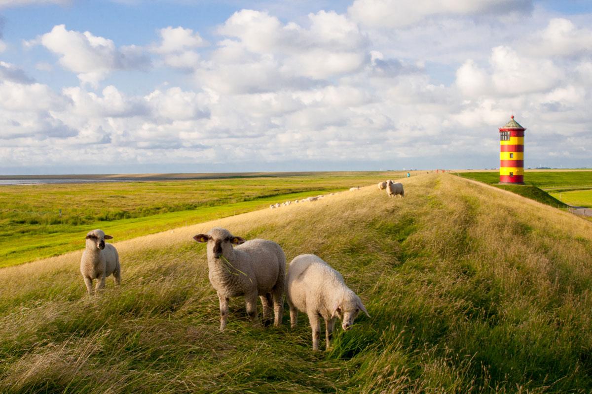 Schafe am Pilsumer Leuchtturm an der Nordsee