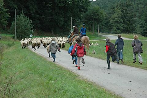 Fleißige Helfer beim Schafe eintreiben