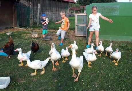 Beim Hühner, Enten und Gänse füttern