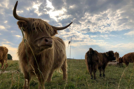 Zottelige Highland Cattle
