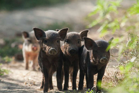 Süße Schweinchen auf dem Bio-Hof Orlov put in Kroatien