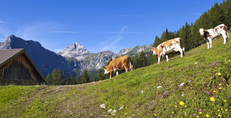 Kühe auf der Alm in der Salzburger Sportwelt