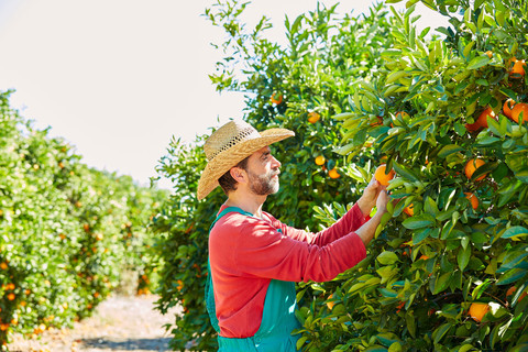 Bauer bei der Orangenernte in Spanien