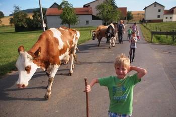Alle bringen die Kühe von der Weide zurück in den Stall