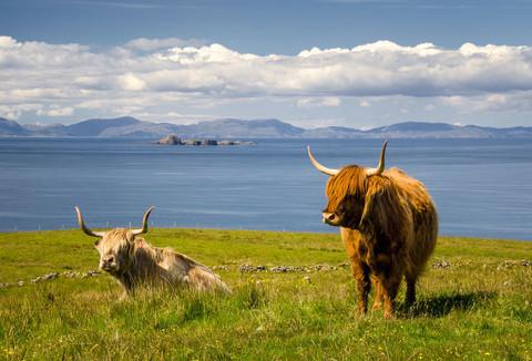 Hochland-Rinder in Schottland