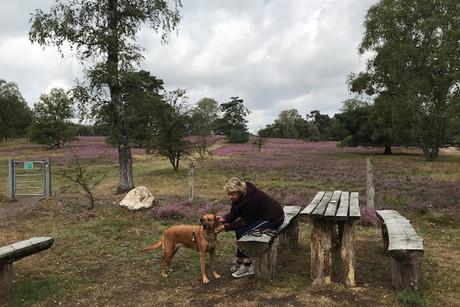 Wandern in der blühenden Heide am Ferien-Hof Meinerdingen