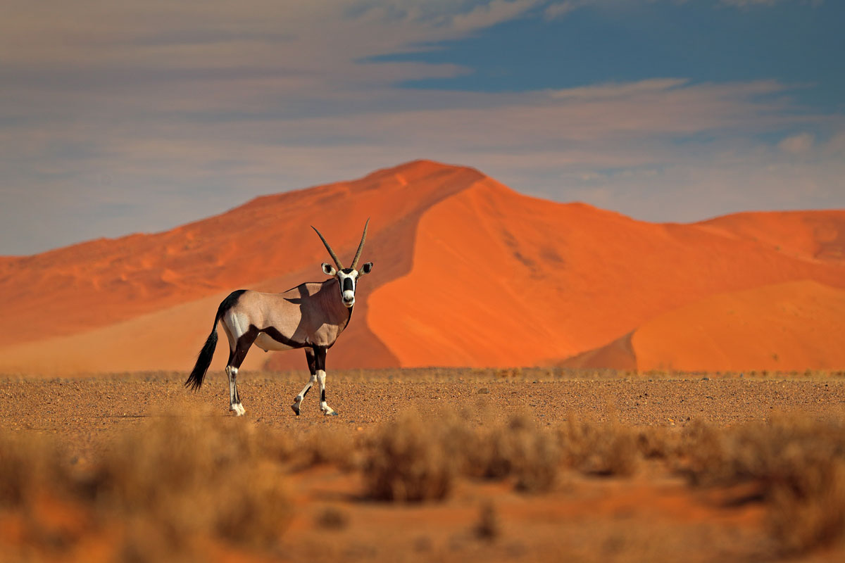 Gamsbock im Nationalpark Sossusvlei - die hohen Dünen der Namib