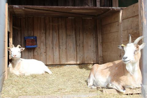 Unsere Ziegen warten auf Euren Besuch
