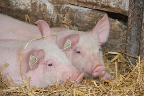 Unsere Schweinchen - bei uns kommen Sie den Tieren ganz nah