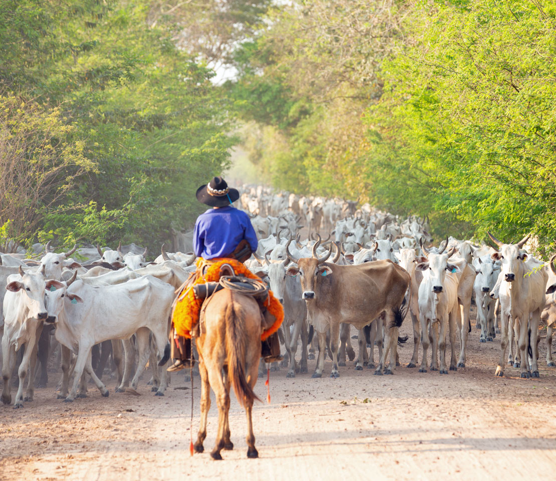 Viehherde in Paraguay