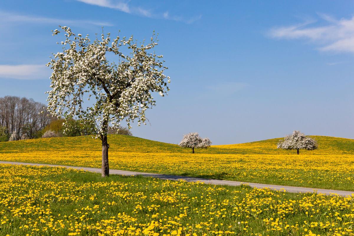 Apfelbäume in einer Löwenzahnwiese