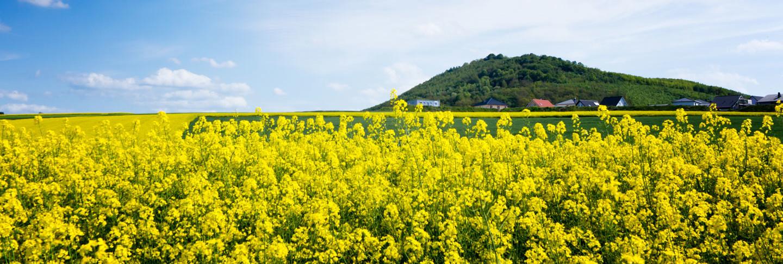 Blühendes Rapsfeld in der Eifel
