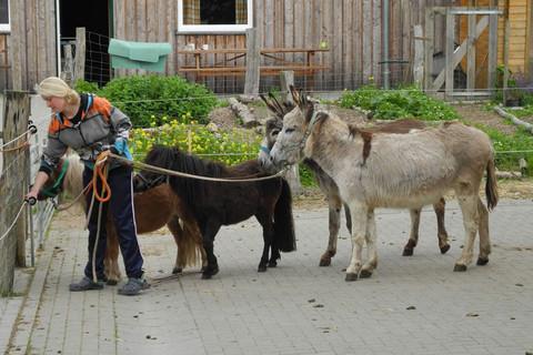 Ponys und Esel