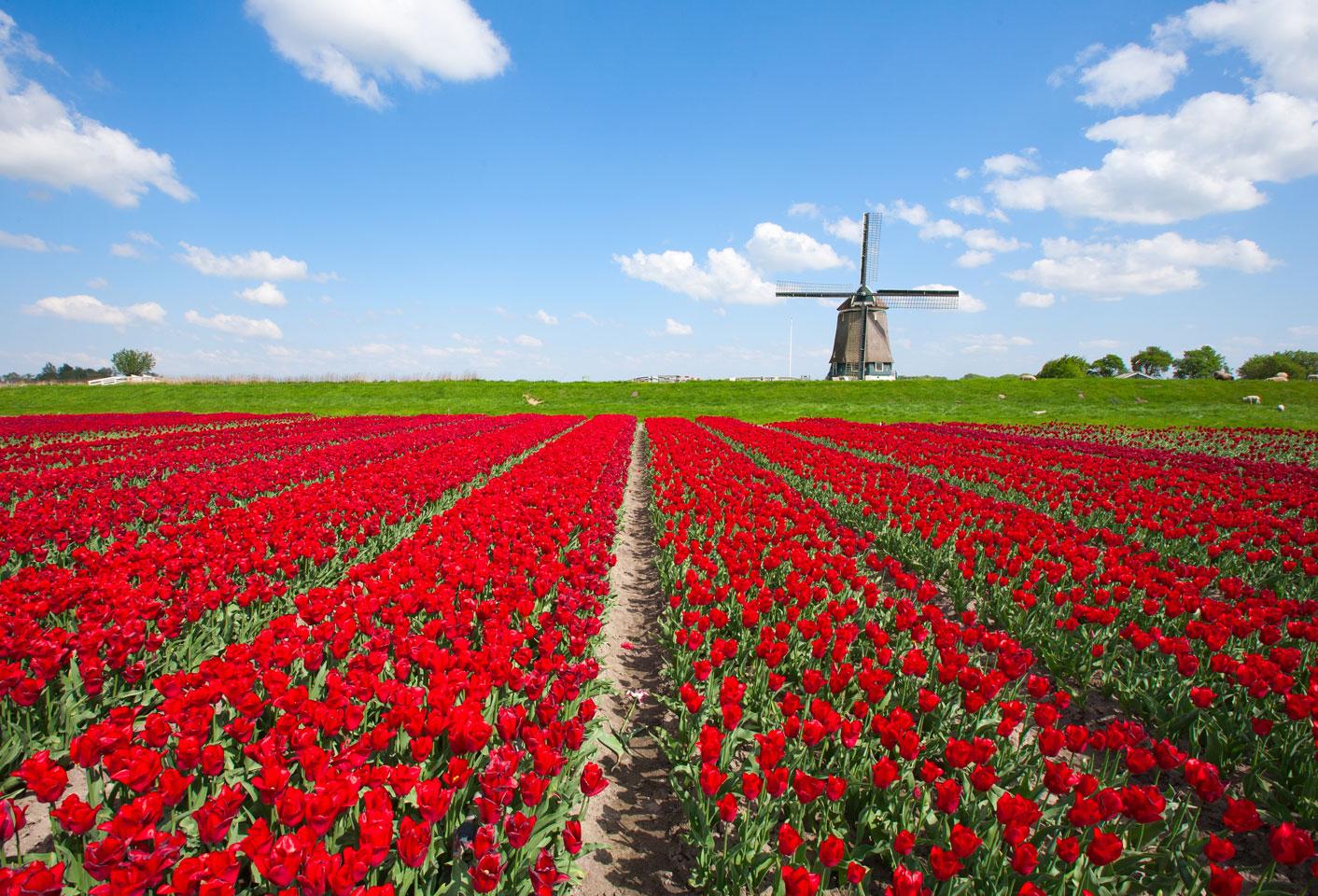 Tulpen und Windmühle in Holland