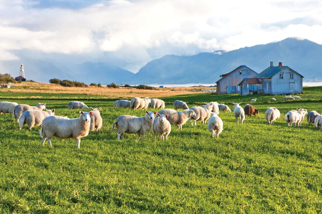 Schafe in Norwegen