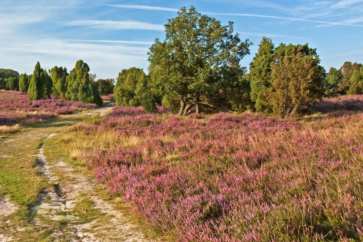 Landschaft mit Wacholder in der Lüneburger Heide