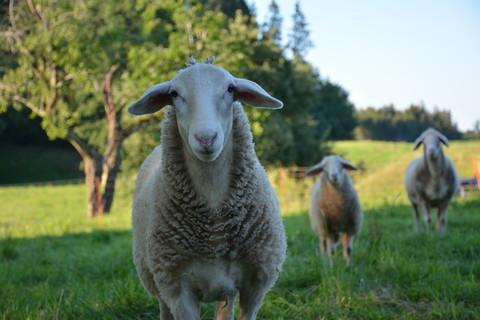 Unsere Schafe auf dem Kohlerhof