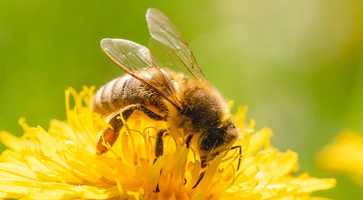 Honigbiene auf einer Löwenzahnblüte