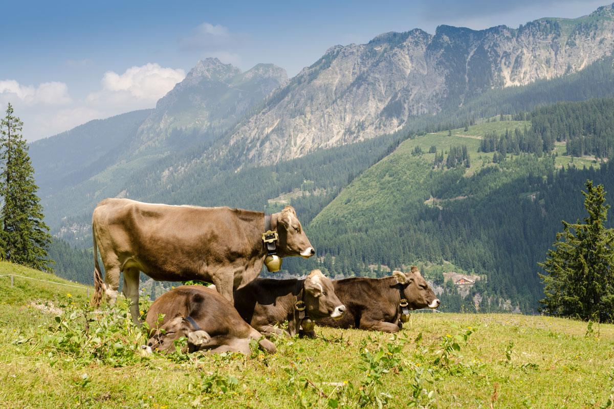 Viehwirtschaft mit Kühen auf einer Weide in den Bergen