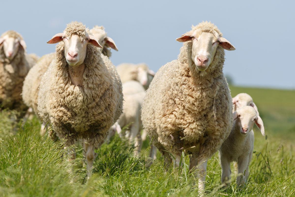 <p>Schafe mit ihren Lämmern auf den grünen Deichen in Ostfriesland</p>