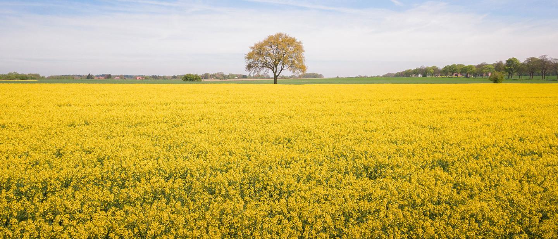 Rapsfeld mit blühenden Rapsblüten im Mittleren Schleswig-Holstein