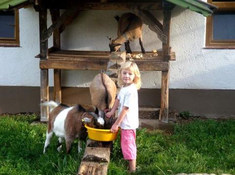 Fütterung der Ziegen beim Aschenauer Hof
