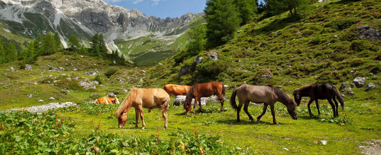 Pferde und Kühe auf der Alm