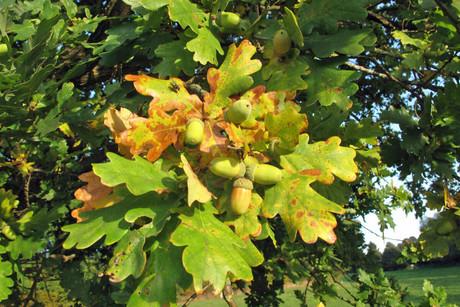 Früchte der Bäume im Herbst