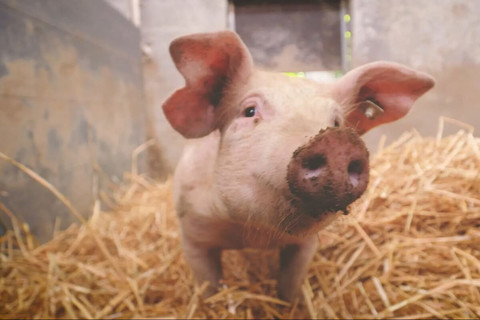 Unsere Bentheimer-Duroc-Schweine