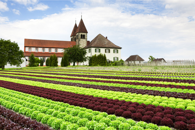 Salatfeld auf der Reichenau