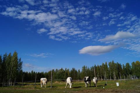 Kuhwiese auf Heidin Mummola in Finnland