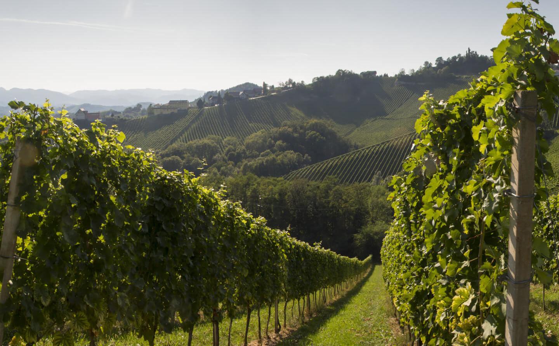 Panorama Weingarten in der Südsteiermark