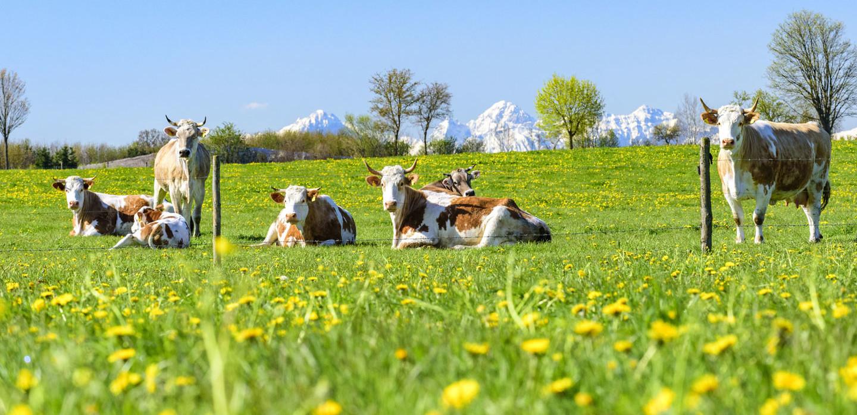 Kühe auf der Wiese im Pfaffenwinkel