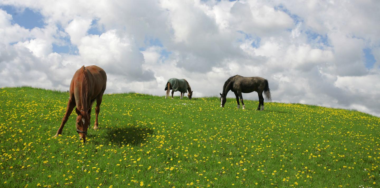Pferde auf der Weide in Dänemark