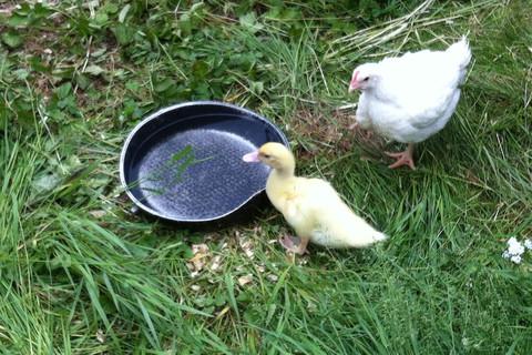 Enten und Hühner auf dem Ferienbauernhof Moarhof
