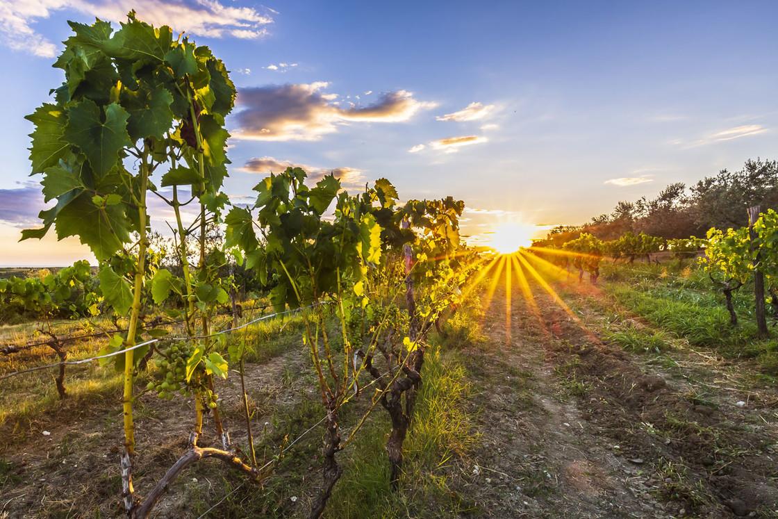 Sonnenuntergang an einem idyllischen Weinberg in Istrien