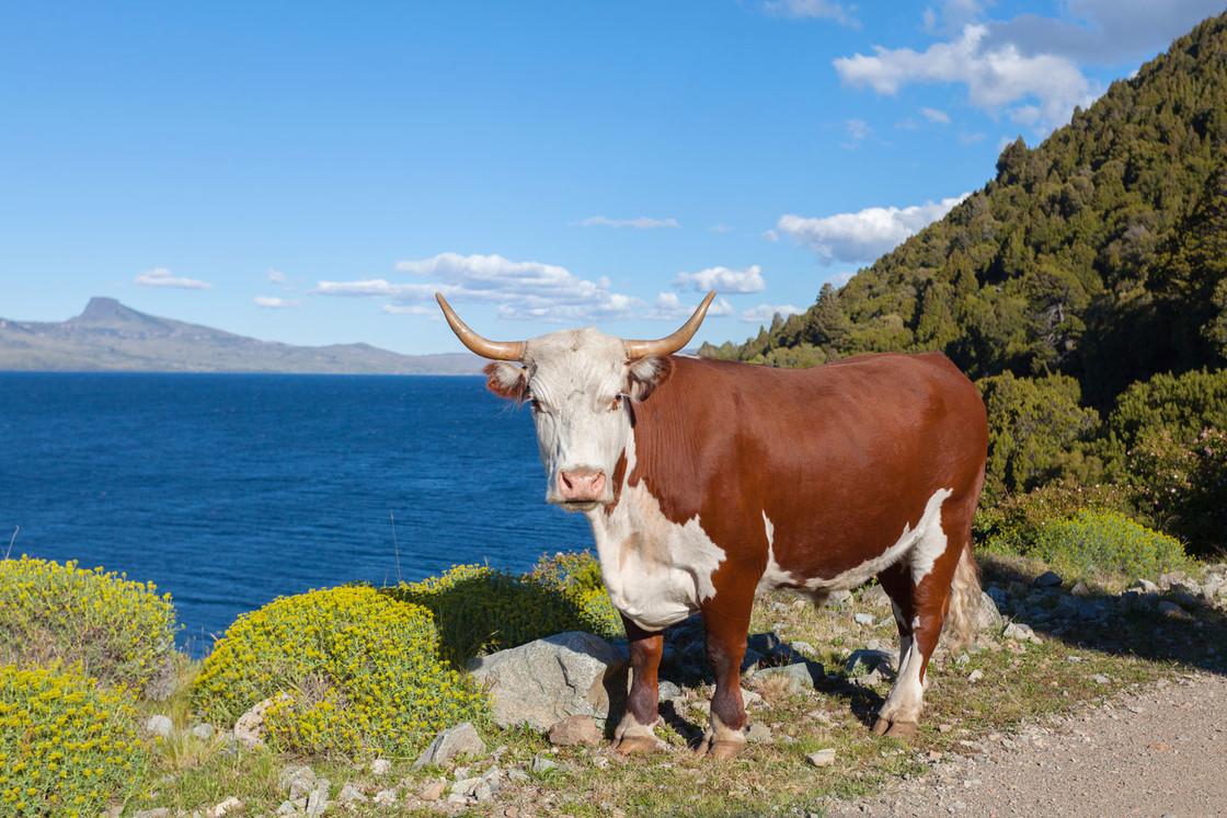 Kuh in Padagonia