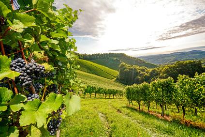 Weinberge vor der Weinlese