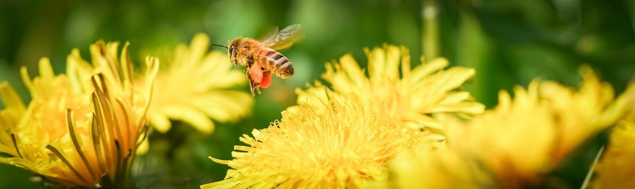 Biene mit befüllten Pollentaschen