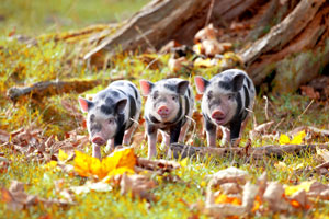 Schweine im Laub